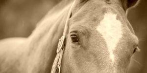 Hevosrehut