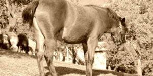 Hevosten kengitys